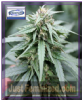 Flash Auto Number One Female 3 Cannabis Seeds